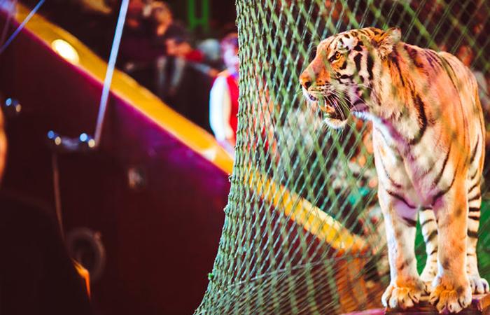 Дикие животные в цирке.