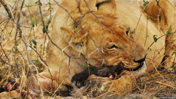 Численность львов уменьшается катастрофически.