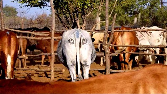Глаза на корове.