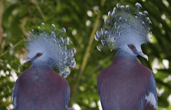 Веероносный венценосный голубь.