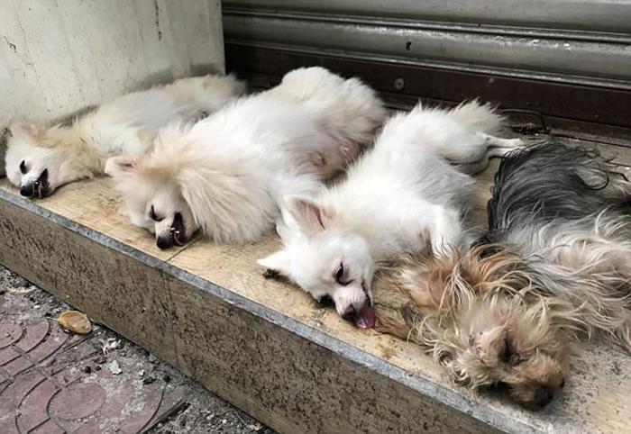 Собак уложили в ряд, чтобы дождаться, когда пройдет анестезия.