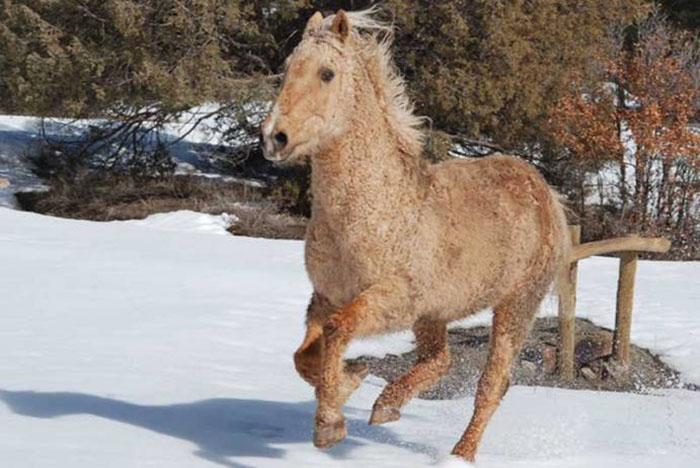 Зимой кучерявость лошади заметно повышается.