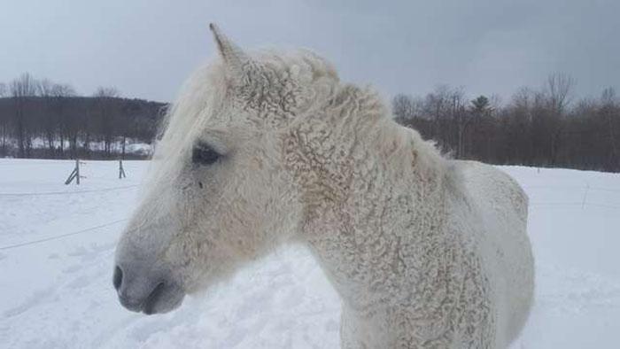 Белая кучерявая лошадь.