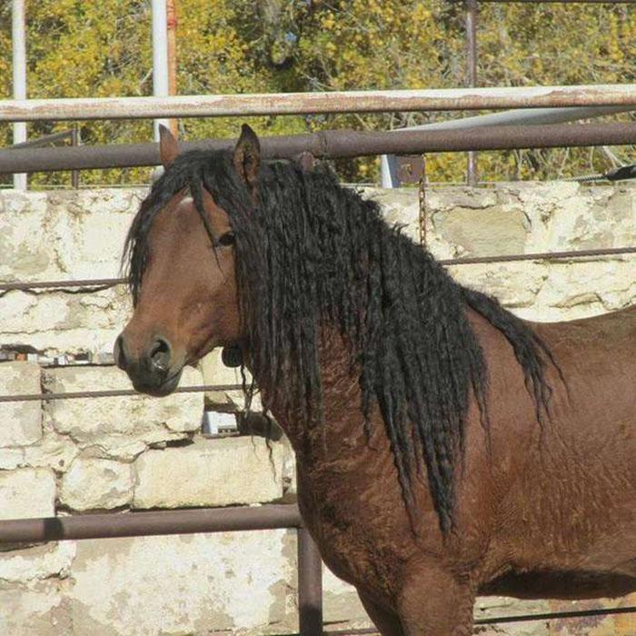 Кучерявые лошади считаются гипоаллергенными.