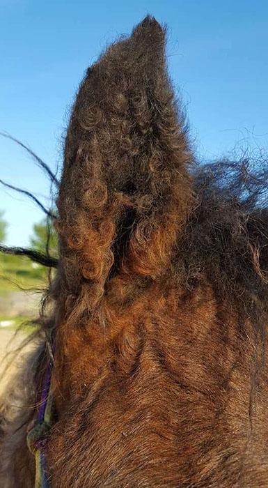 Зимой кучерявыми у лошадей становятся не только грива и хвост, а нередко и вся остальная шерсть на теле.