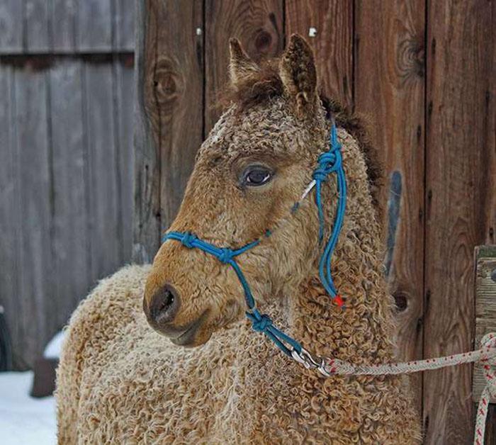 Такие лошади считаются выносливыми и спокойными.