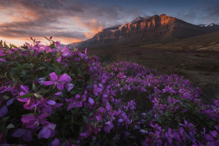 Цветущие поля Гренландии. Автор фото: Daniel Kordan.