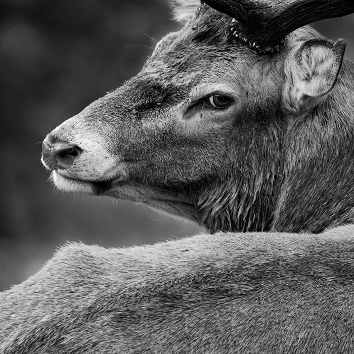Монохромный портрет благородного оленя. Фото: Sam Coppard.