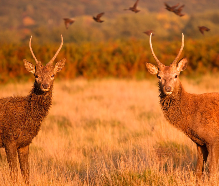 Два молодых оленя. Фото: Sam Coppard.
