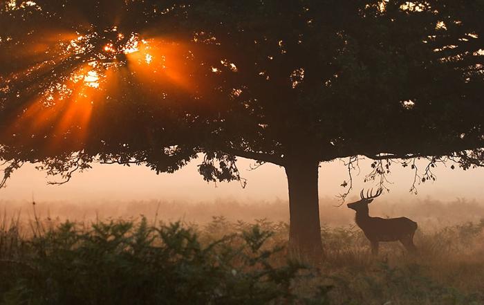 Олень остановился, глядя на солнце, прорывающееся сквозь густую крону дерева. Фото: Sam Coppard.