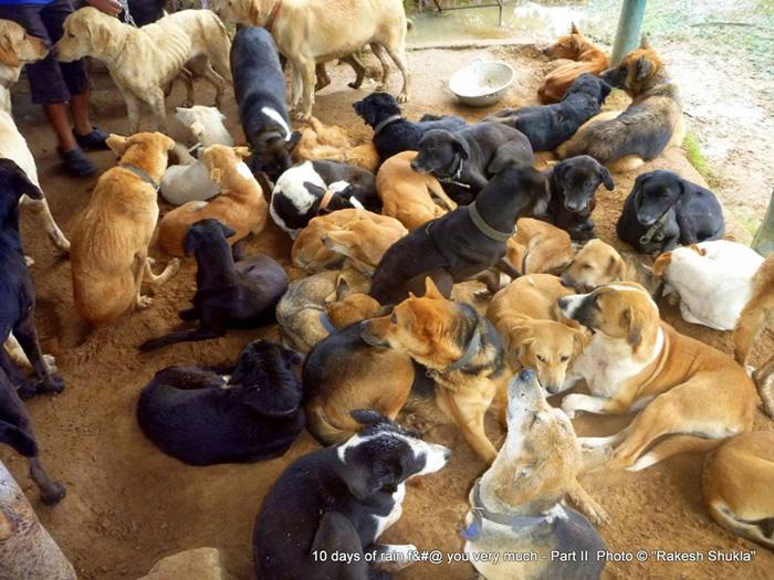 Собаки ожидают, пока их вольеры почистят во время сезона дождей. Фото: Rakesh Shukla.