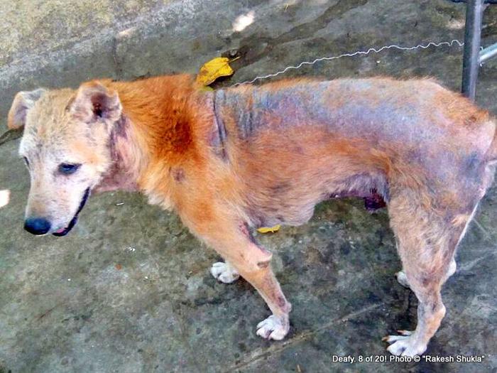 В таком состоянии собаки попадают в центр. Фото: Rakesh Shukla.