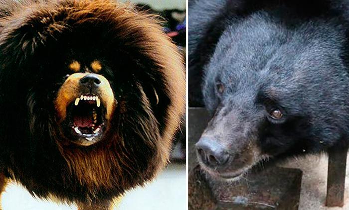 Собака или медведь.