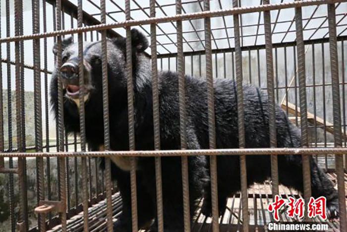 Китаец два года не догадывался, что растит у себя дома не собаку, а медведя.