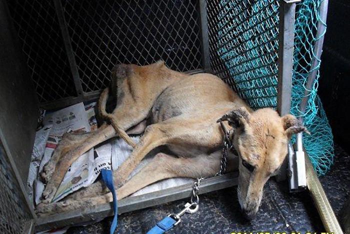 Условия содержания гончих собак часто просто ужасающие.