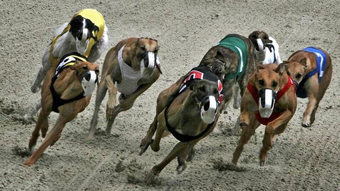 Собачьи бега до сих пор остаются довольно популярным видом спорта.