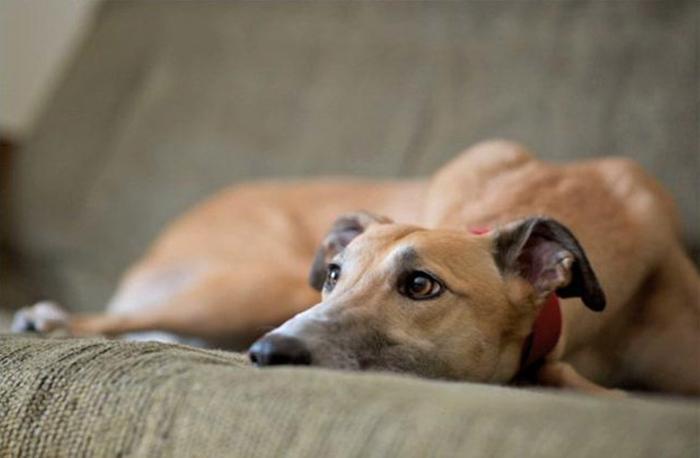 Собаки породы грейхаунд чаще всего принимают участие в забегах.