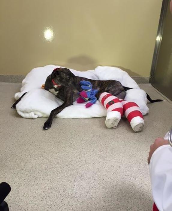 Аша сломала сразу обе задние лапы во время забега.