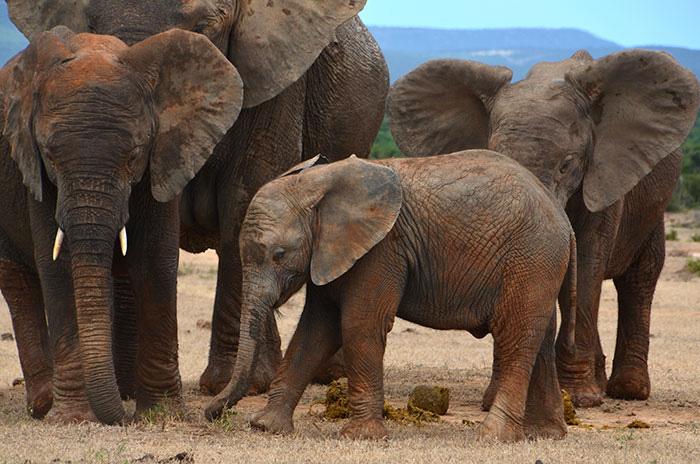 Слоны в Азии.