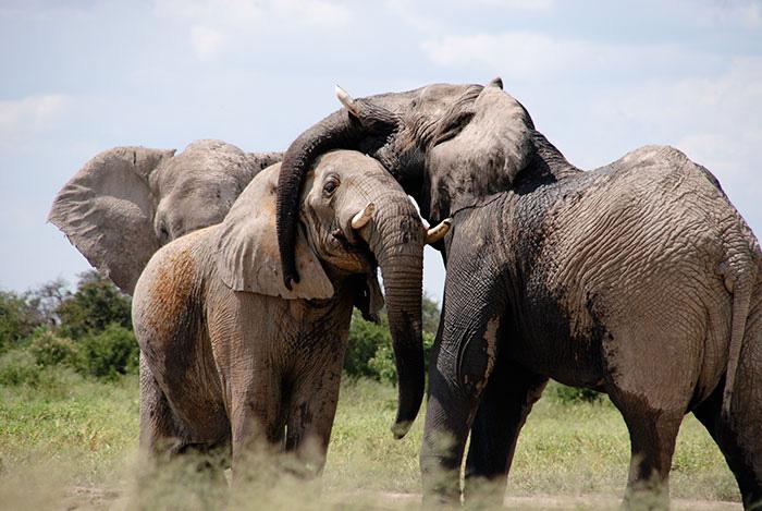 В Китае действуют сегодня более сотни предприятия по торговле слоновьей костью.