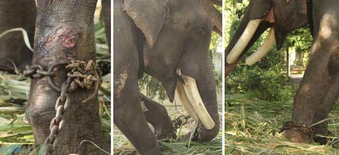 Ноги слона были воспалены из-за постоянного стояния на одном месте.