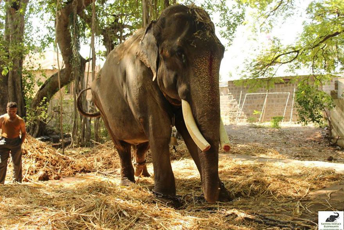 Наконец-то Гаджрадж может ходить без цепей.
