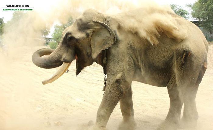 Пылевые ванны пришлись слону особенно по душе.