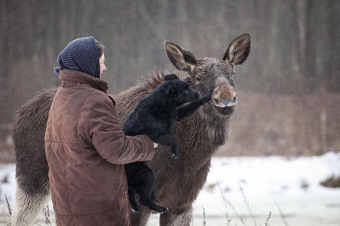 Годовалый лось. Фото: Сергей Лескеть.