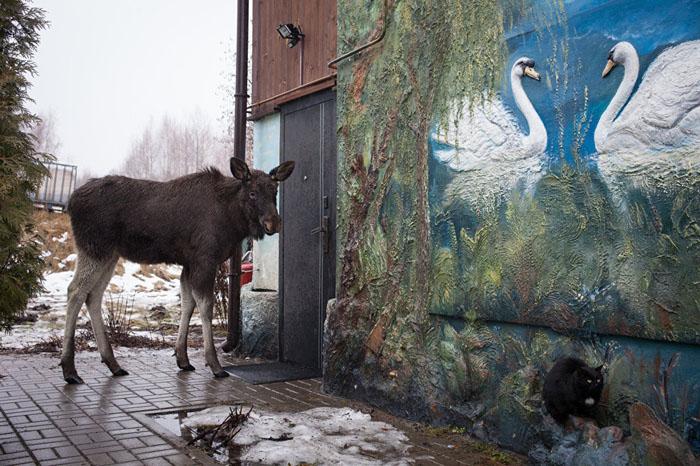 К лосю Грише в деревне все привыкли. Фото: Сергей Лескеть.