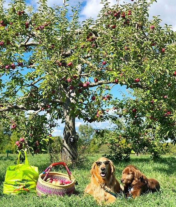 В конце сентября Финн побывал на сборе яблок.