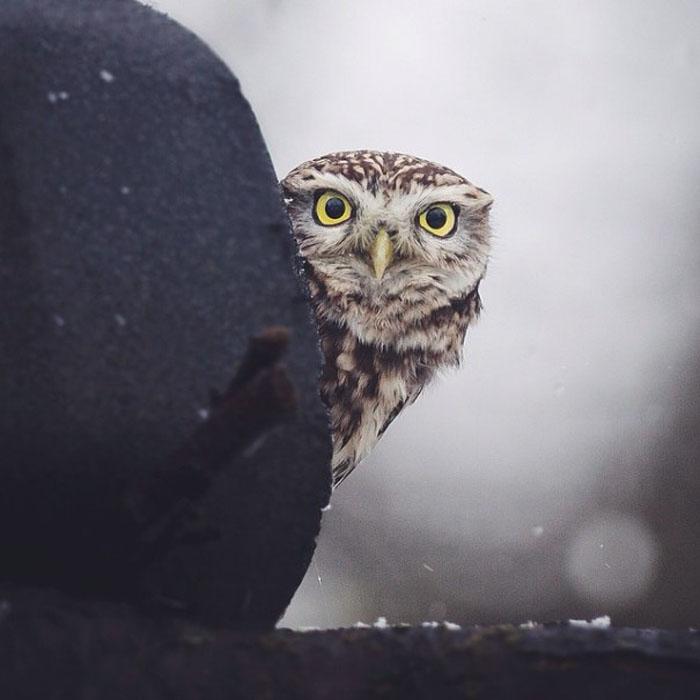 Любопытная сова.