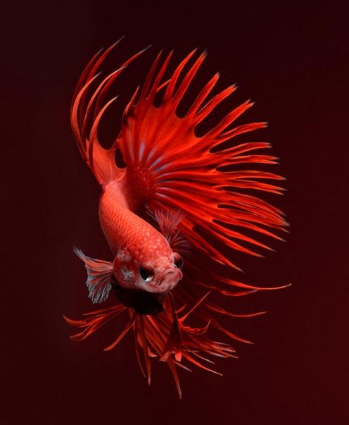 Сиамская бойцовая рыбка.  Фото: Visarute Angkatavanich.