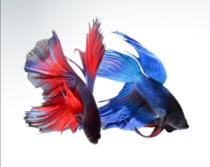 Красное и синее. Сиамские петушки. Фото: Visarute Angkatavanich.