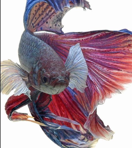 Радужная рыбка. Фото: Visarute Angkatavanich.