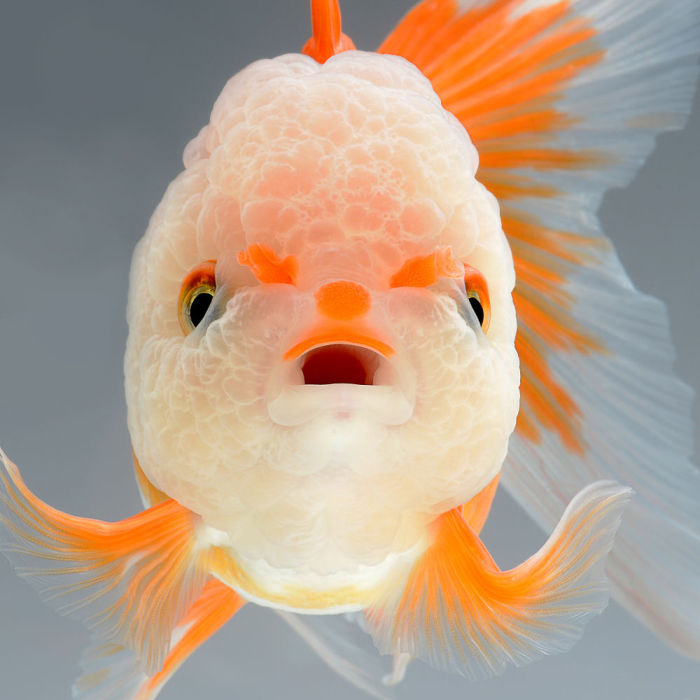 Золотая рыбка. Фото: Visarute Angkatavanich.
