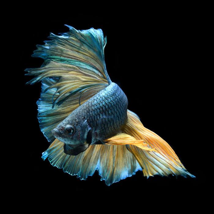 Бойцовая рыбка голубого цвета. Фото: Visarute Angkatavanich.