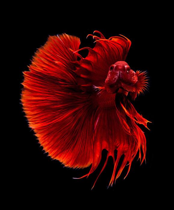 Алая сиамская бойцовая рыбка.  Фото: Visarute Angkatavanich.