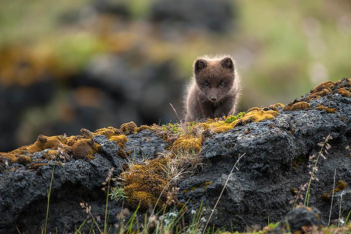 Щенок полярной лисицы. Фото: Einar Gudmann.