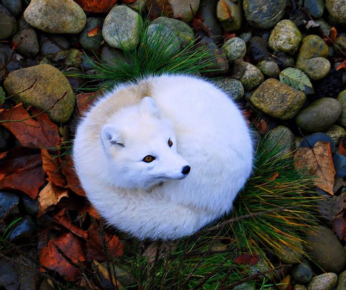 Полярная лисица.