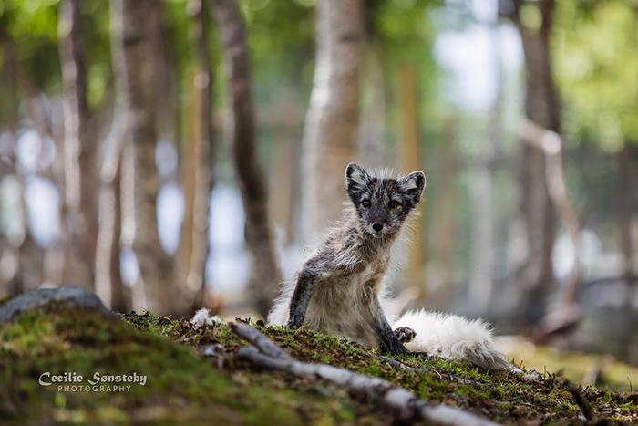 Полярная лисица в летней окраске. Фото: Cecilie Sonsteby.