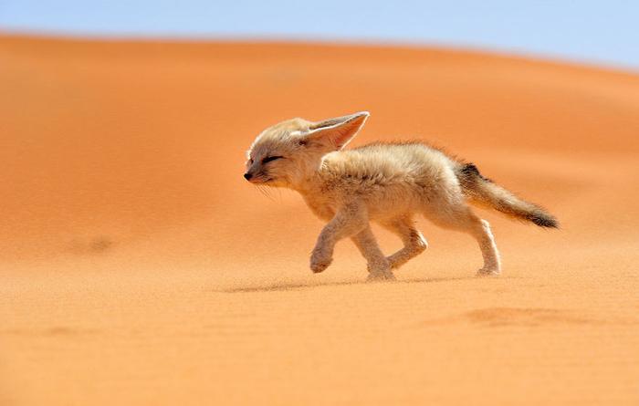 Лисенок-фенек в пустыне северной Африки.