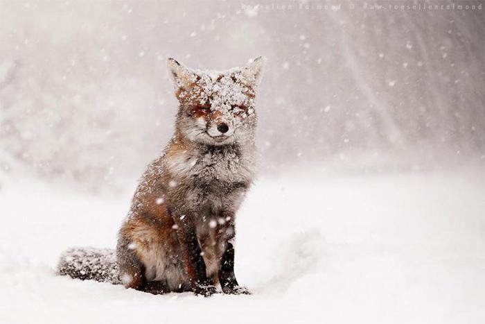 Лисица в снегу. Фото:  Roeselien Raimond.