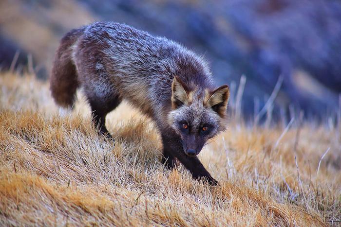 фото чернобурки лисы