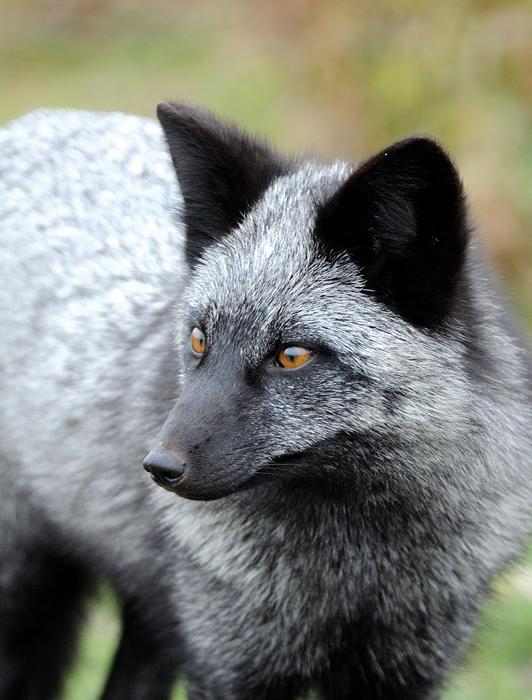 Черно-бурая лисица. Фото: Matt Knoth.