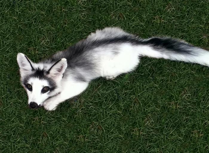 Мраморная лисица.
