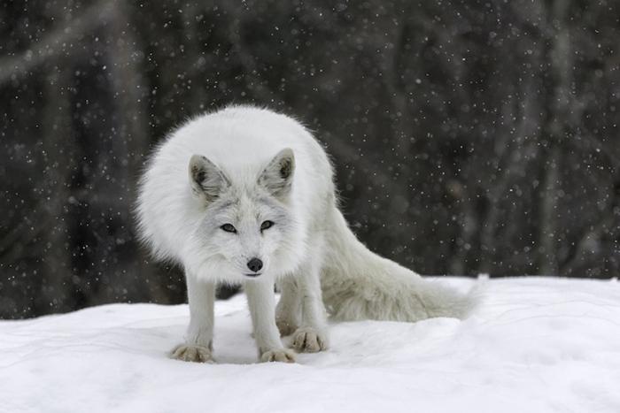 Полярная лисица. Фото: Daniel Parent.