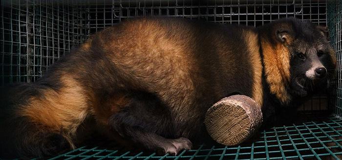 Многие животные страдают от ожирения - так с них можно получить больше меха.