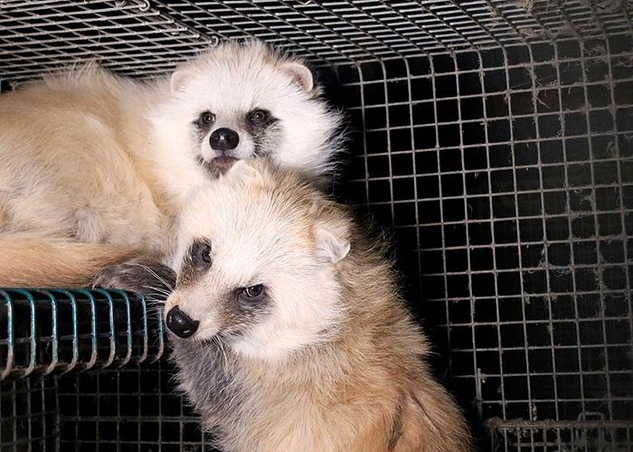 Енотовые собаки живут в тесных клетках без доступа к естественному освещению.