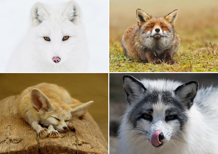 Разные виды лисиц.