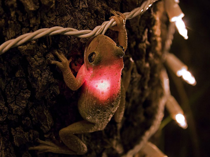 Кубинская древесная лягушка проглотила лампочку.